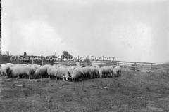 1014-Flock-of-Sheep-1014-
