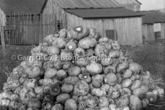 1268-Pile-of-Rutabag44B99B