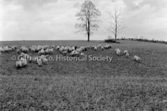 1508-Sheep-on-Hillsi44BAD3
