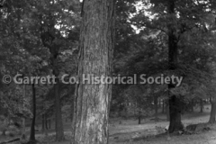 1610-Large-Tree-467A