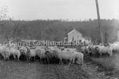 1715-Sheep-at-EJ-Bea44BC0D