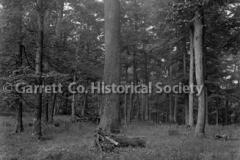1912-Oak-Trees-772A