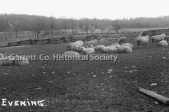 2723-Evening-Sheep-O44B1DA