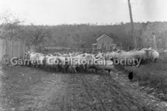 2748-Sheep-in-Road-282C