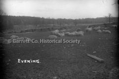 0434-Evening-Sheep-434