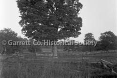 0521-Oak-Tree-521