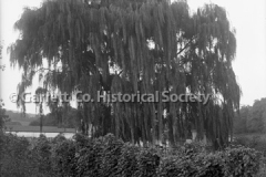 0600-Weeping-Willow-44B685