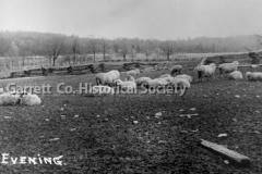 0689-Evening-Sheep-689
